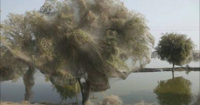 spieder tree